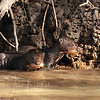 Sometimes youg Giant Otters just stand around looking adorable, Brazil Pantanal