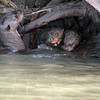 Mom Giant Otter and youngsters