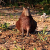 Capybara, the large rodent that is prey for both Jaguar and Caiman. Like the Impala in Africa, the Capybara are everywhere and seem to be very prolific. They look like overgrown Guinea Pigs.