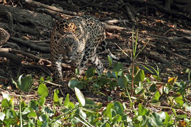 The young Jaguar hunting