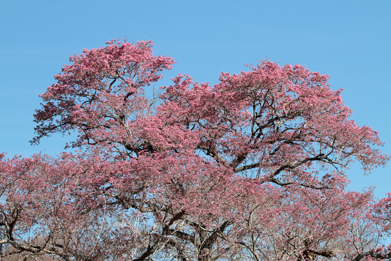 Beautiful blooming Piuva tree. Most were just starting to bloom.