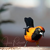 Orange-backed Troupial - Note: both at the hotel and on a short walk, we saw a wide variety of birds and a few monkeys!