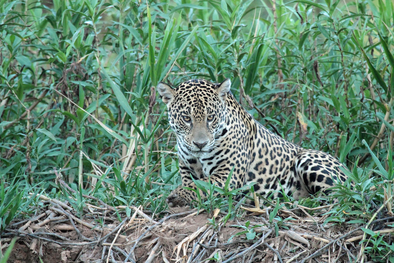 Another Jaguar, Brazil Pantanal