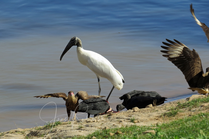 Caracara, Wood Stork and vultures devour scraps thrown by Porto Jofre workers.