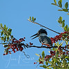 Ringed Kingfisher, also very common in the Pantanal--to our delight!