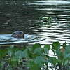 Giant Otter, our first glimpse. This one actually came toward the boat and hissed at Janice.