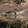 Caiman reflected
