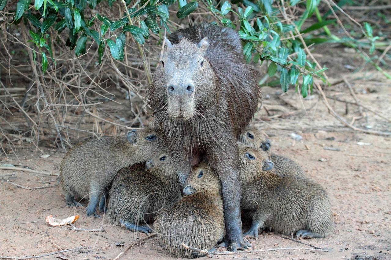 Capybara are prolific! Brazil Pantanal