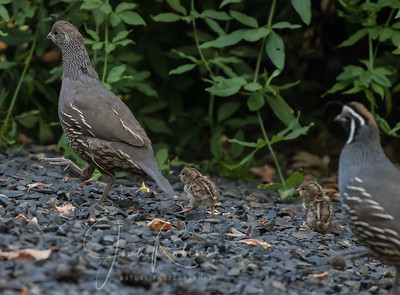 Quail family departing