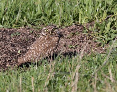 Renda caught sight of this sweet Burrowing Owl as we drove by.