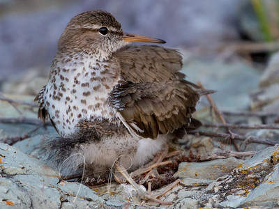 Spotted Sandpiper hiding chick