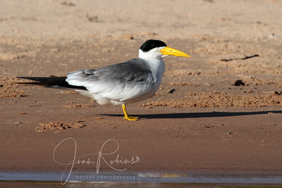 Large-billed Tern