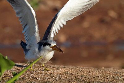 Yellow-billed Tern?