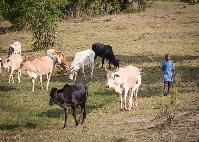 Maasai boy with his cattle