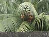 Palm Trees, Manila