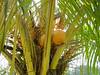 Colourfull coconuts, Manila