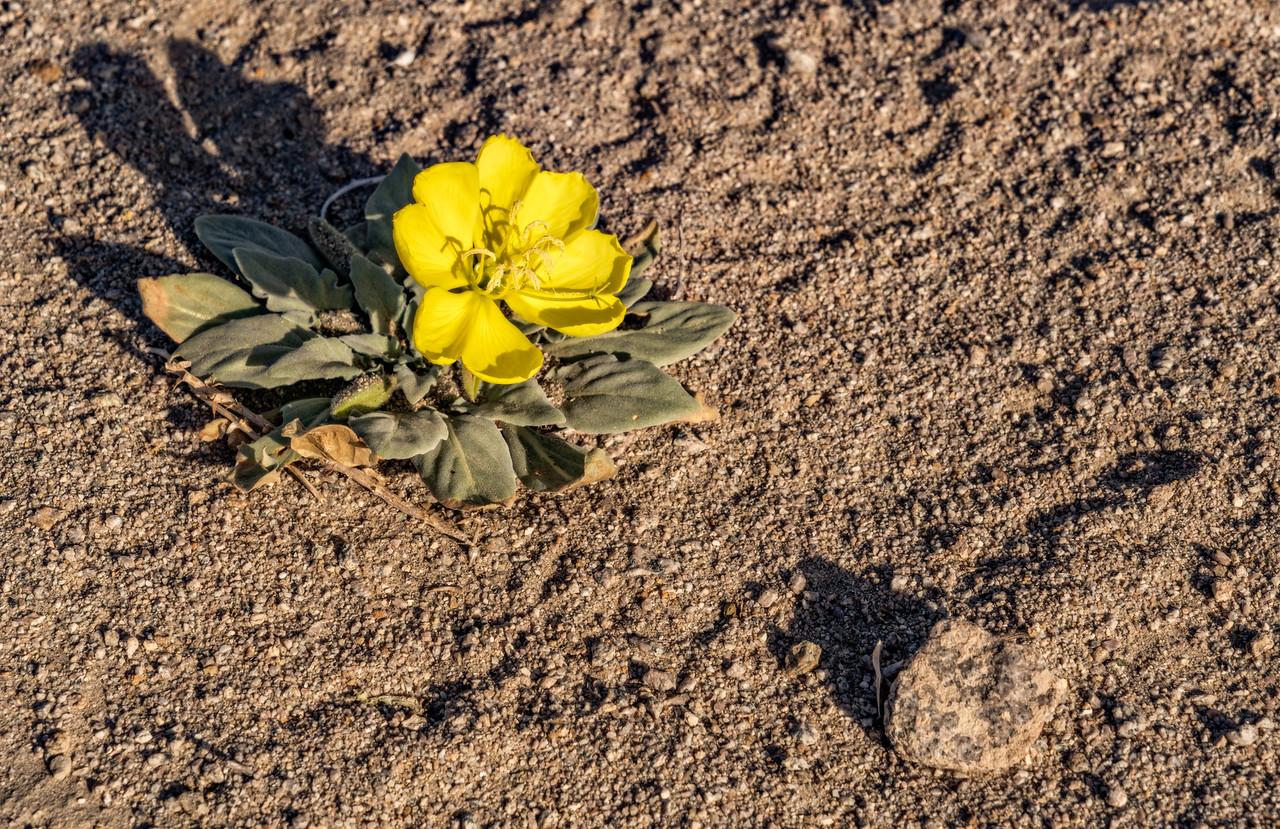 yellow desert wildflower