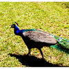 It was quite a struggle running behind Mr. Peacock trying to get a photo. Whew!