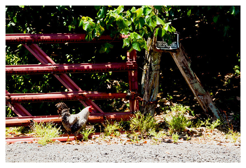 No Trespassing, Mr. Rooster!