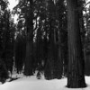 "I call this image of  California's Sierra Giant Sequoias,  ""Little People"" for two reasons: I like the small sapling among the giants. Then, almost unnoticed except when enlarged, is the small group of people lost in the snow."