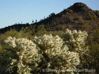 cholla and saguaro cactus on a hill