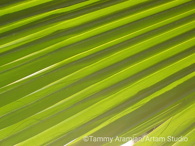 Mexican fan palm frond