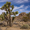 Ancient Joshua Trees