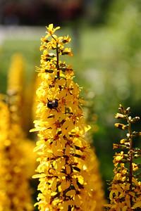 Bee at Prince's Island park, Calgary, Alberta.