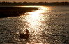 Pelican silhoutted at sunset.