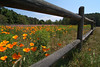 Field of flowers with wood fence and blue sky on South Carolina island.