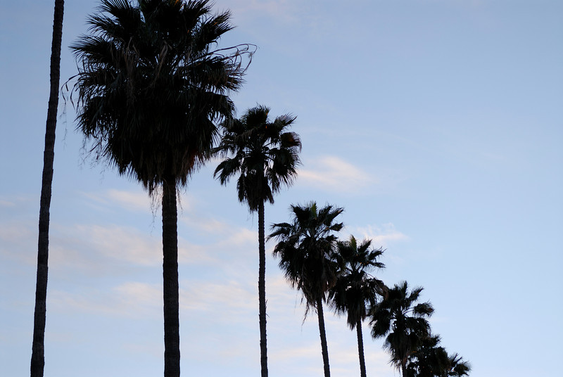 Palm trees lined up against blue sky