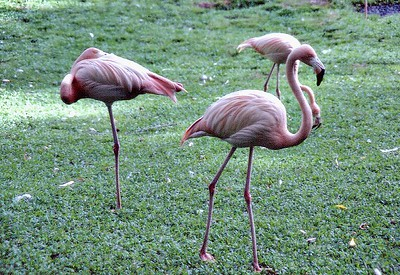 Pink flamingos Honolulu, Oahu Hawaii USA - Nov 1981