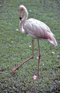 Pink flamingo Honolulu, Oahu Hawaii USA - Nov 1981