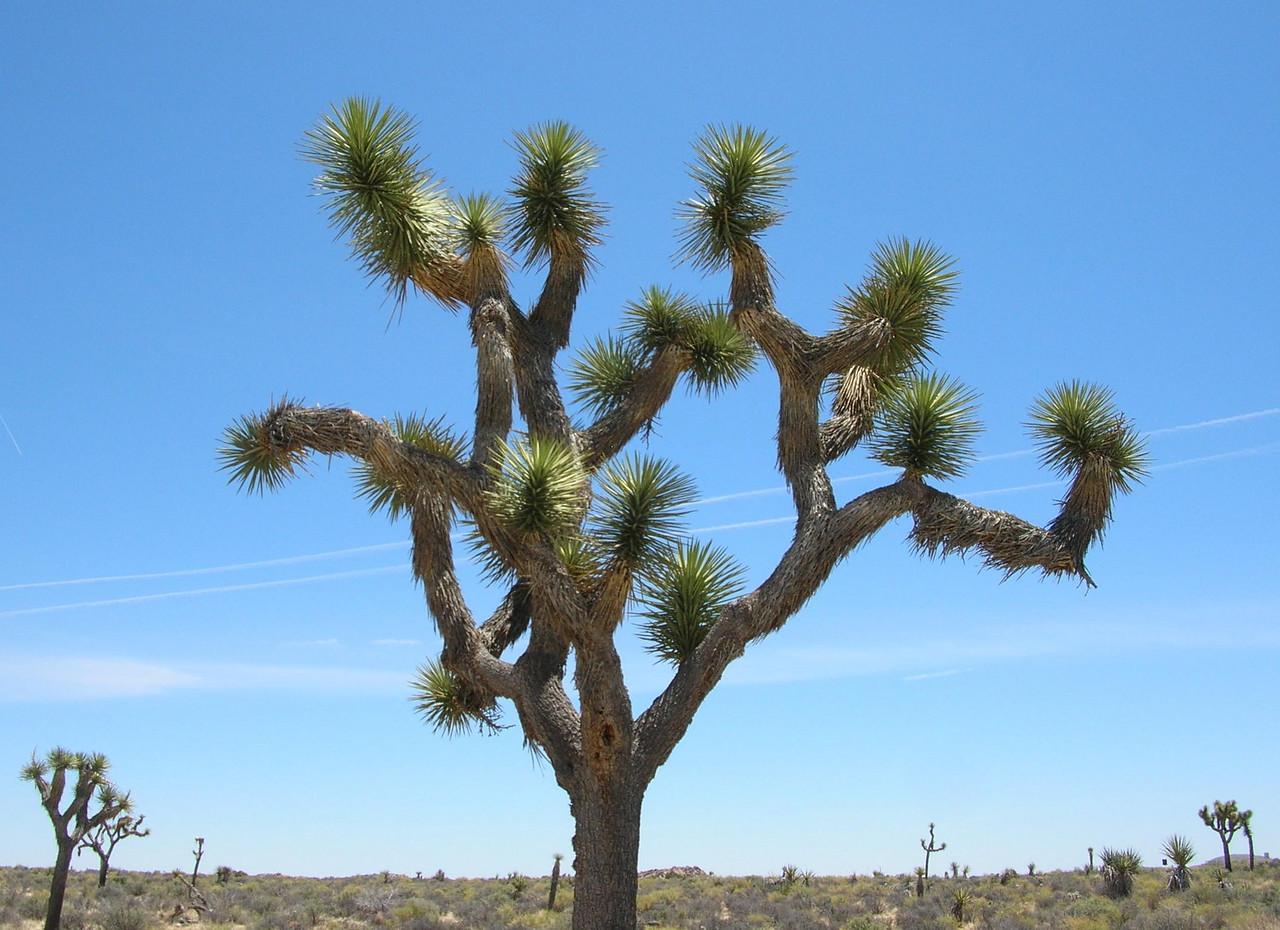 Joshua Tree National Park, CA - 2006