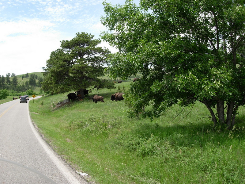 On in to Custer State Park, where the buffalo roam...everyone said to stay on your bike, and be ready to go around traffic to avoid a tangle up with these beautys....you would definitely loose...
