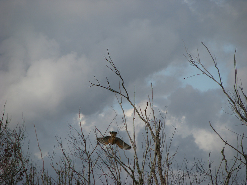 Hawk on Lake Okahumpka, in north-central Florida diving for his lunch