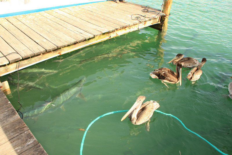 Check out the tarpon under the dock.