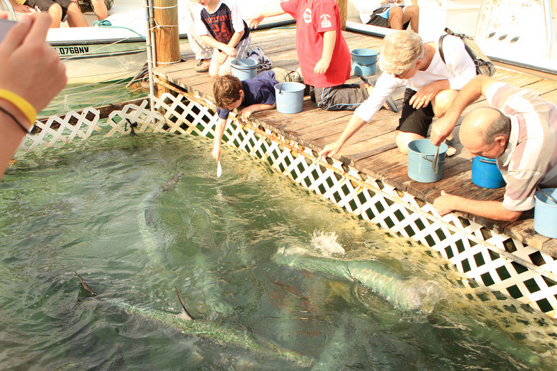 Lynda feeding the tarpon, who have made it under the dock away from the pelicans, to get fed.