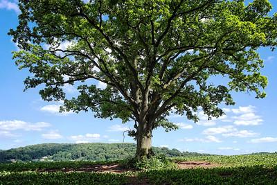 The Old Oak, Goodrich