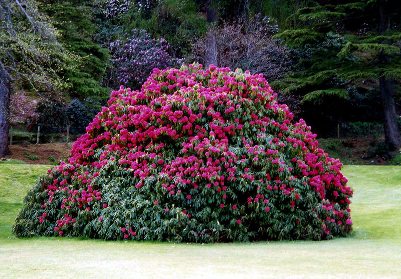 The west of Scotland's wet but mild climate (influenced significantly by the Gulf Stream) is particularly conducive to the growing Sino-Himalayan plants such as rhododenrons.
