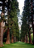 At over 40 metres (130 feet) in height the 133-year old Sierra Redwood trees are amongst the tallest in Britain