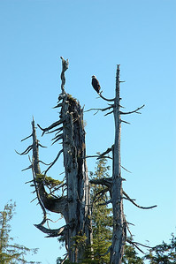 The eagles were nearly as plentiful as crows and ravens on Kitkatla. This picture and the following one were taken early morning on the day we left.