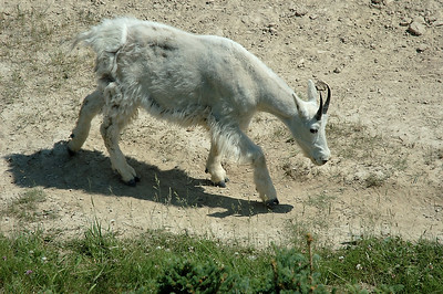 One billy goat gruff (mountain goat actually) on the road through Jasper.