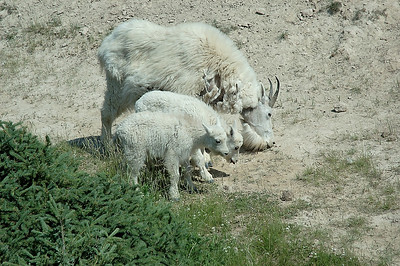Three billy goats gruff.