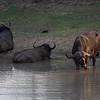 Cape Buffalo at water hole