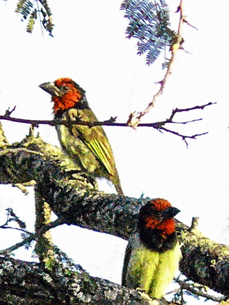 Black-collared Barbet (Lybius torquatus).