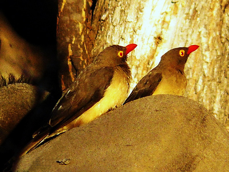 Red-billed Oxpecker (Buphagus erythrorhynchus).