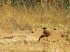 Dwarf Mongoose (Helogale parvula).<br /> Dward mongooses live in abandoned termite mounds.