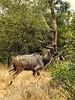 Greater Kudu (Tragelaphus strepsiceros).