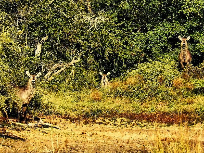 Common Waterbuck (Kobus ellipsiprymnus ellipsiprymnus).